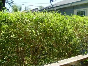 Privet bush all trimmed and pretty.